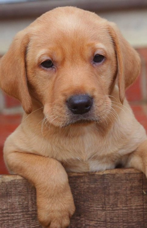 six-week-lab-pup-660x1024.jpg