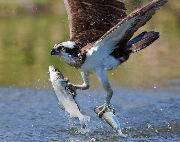 Osprey perfects double swoop.JPG