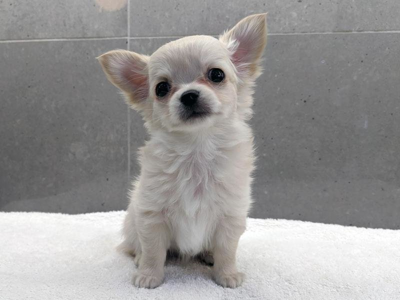 female-and-male-kennel-club-long-haired-chihuahua-puppies-673485-1_800X600.jpg