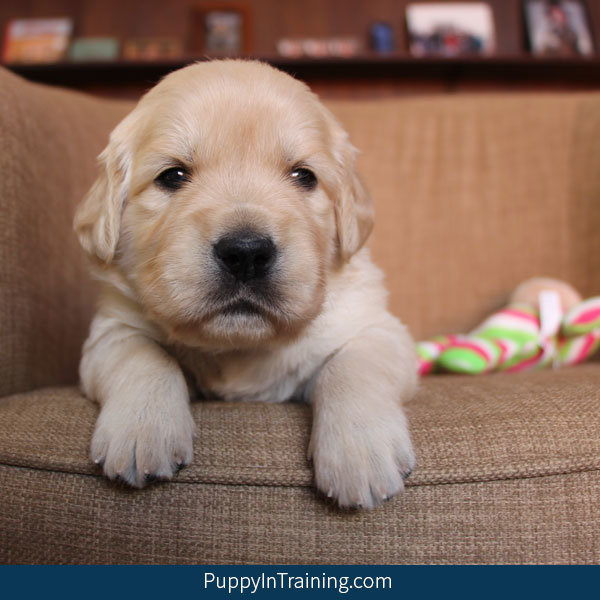 golden-retriever-puppies-week4-1.jpg