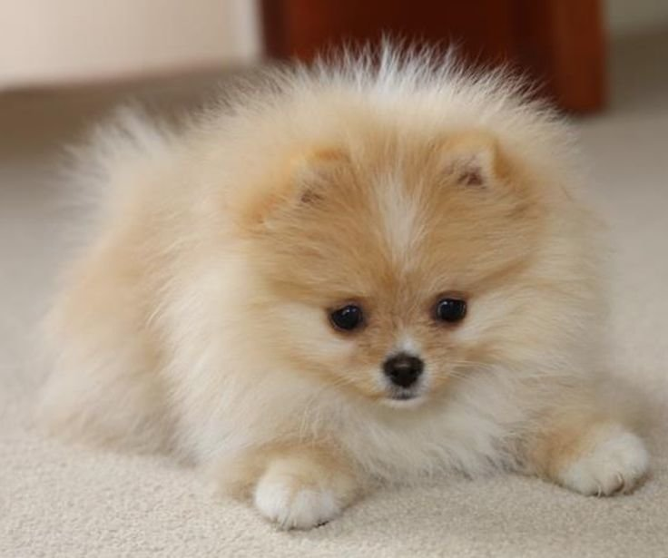 pomeranian-puppies.jpg