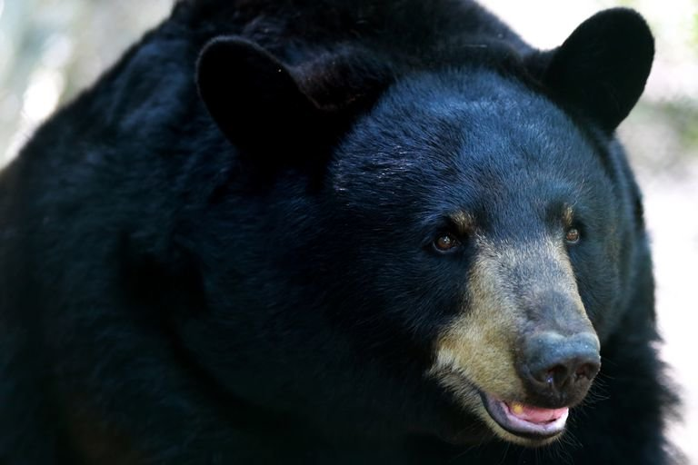 black_bear_close-up-0b9350833d7e44d5a34819a64e94b10e.jpg