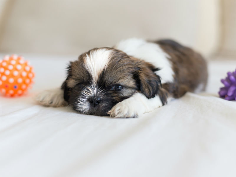 shih_tzu_hero_puppy.jpg