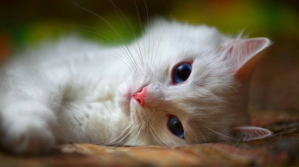 Sweet White Kitty for Forum.jpg