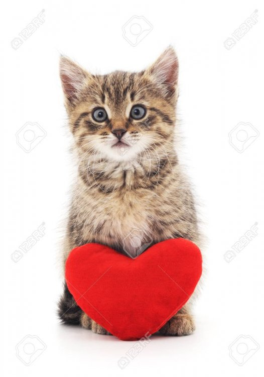 69696353-kitten-with-toy-heart-isolated-on-a-white-background-.jpg