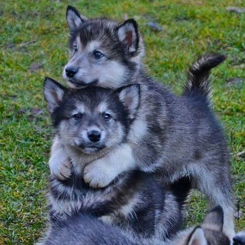 International_hug_day_-_cute_animals_hugging_-_baby_husky_puppies_-_pshundar_-_good_housekeeping_uk.jpg