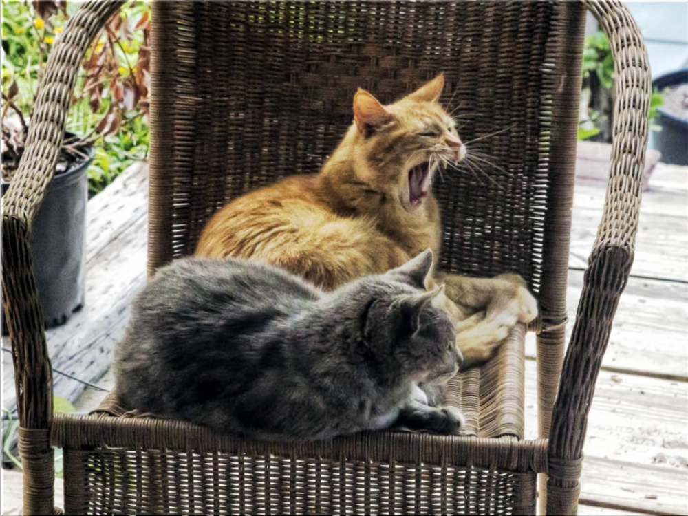 Backyard Cats.png