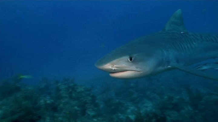 tiger-shark-National-Geographic-Channel.jpg