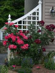 Roses Candyland and Night Owl on trellis