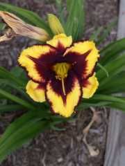 Daylily 'Goldenzelle' (Smith 06)