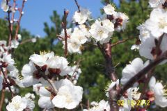 Orchard In March 004