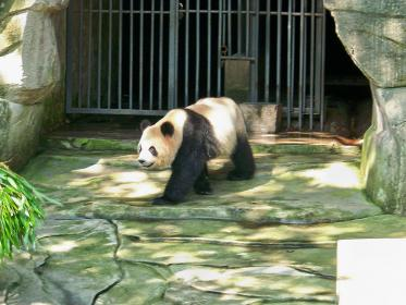 1722141047_006100_475708_08.10Three-yearoldGiantPanda.jpg.2c722d80a550763560abc3963d316cd3.jpg