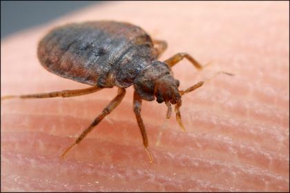 bed-bug-closeup-dorsal-view.jpg.8dfefe679a22ab4227e8e6da4a2fc115.jpg