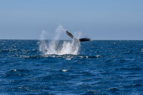 Humpback whale in Mexico