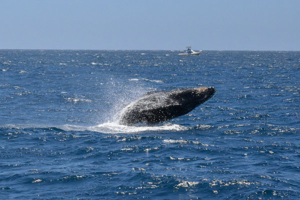 Breaching humpback in Mexico