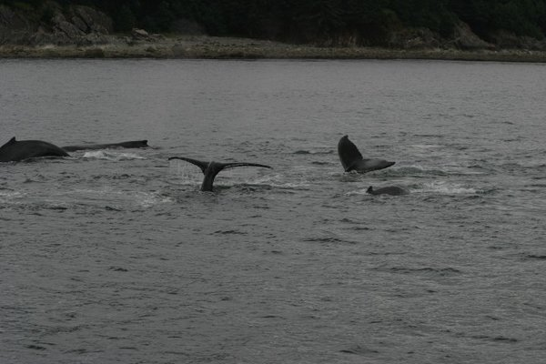 Whale watching - Juneau