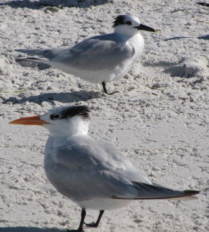 clearwater beach Royal Tern 2010 IMG_3938.JPG
