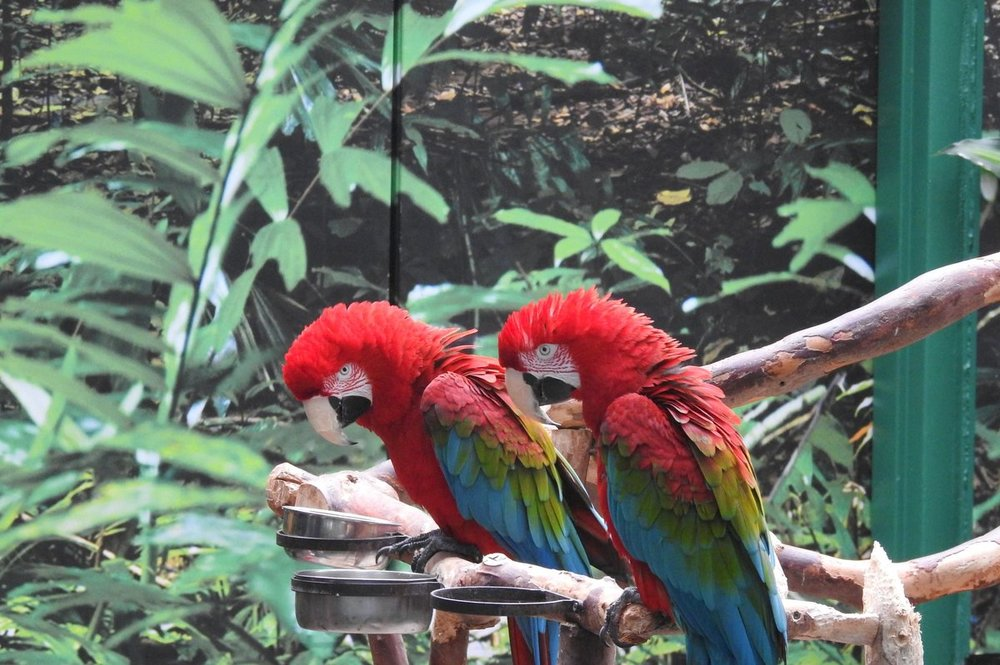 green-winged MaCaw sisters.JPG