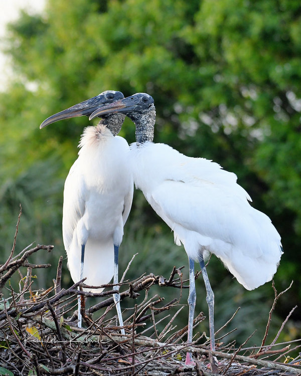 A WAKO 02-11-20 Woodstork Pair WM.jpg