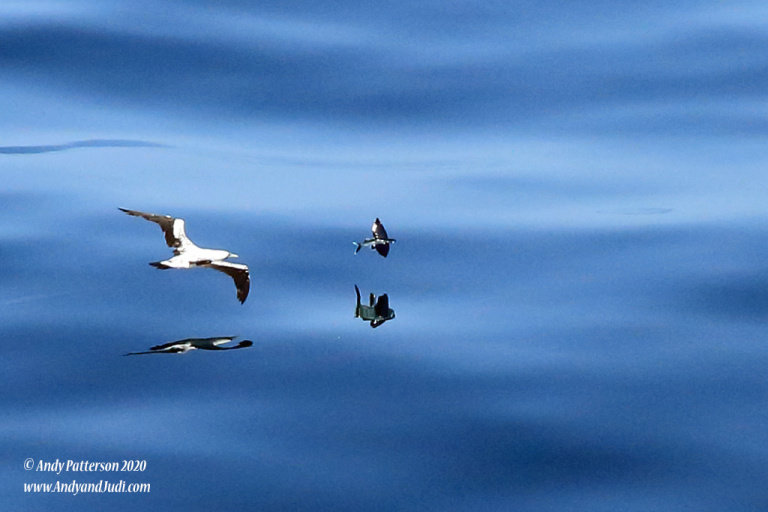 bird-following-flying-fish-2.jpg