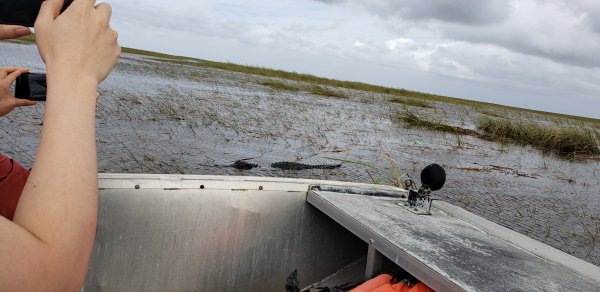 Florida Everglades - a black gator!