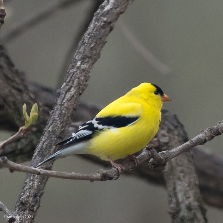 Goldfinch-9151.jpg