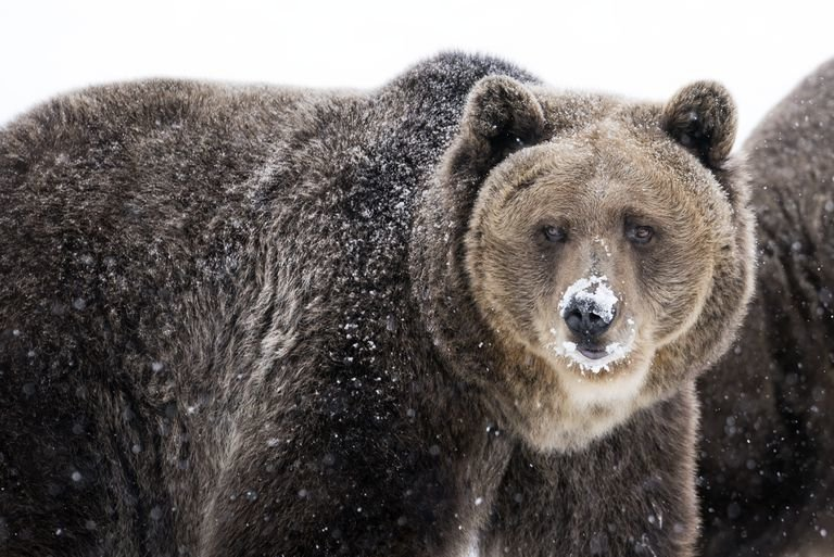 grizzly-bear-with-snow-on-nose-in-winter-937114762-5c50751246e0fb00014c38dc.jpg.f6523fe31d2438c8ddf99c6fcd7fef06.jpg