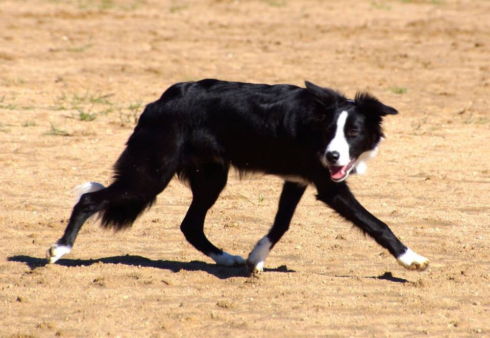 New Border Collie Puppy General Border Collie Discussion Bc Boards