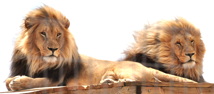 best lion.png