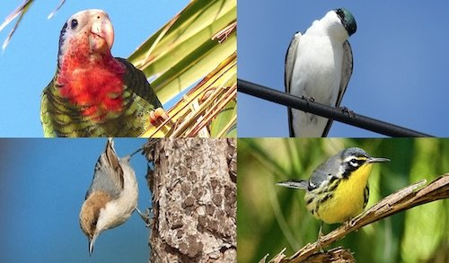 Read more about BirdsCaribbean and the Bahamas National Trust need our help!