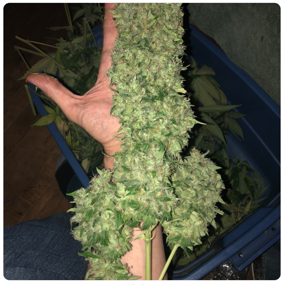 Show us your biggest buds!