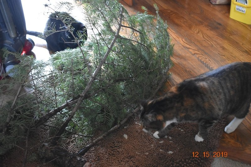 12 15 2019 cats checking xmas tree cutting1.jpg