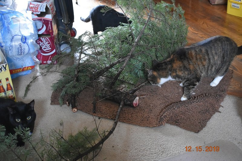 12 15 2019 cats checking xmas tree cutting1b.jpg