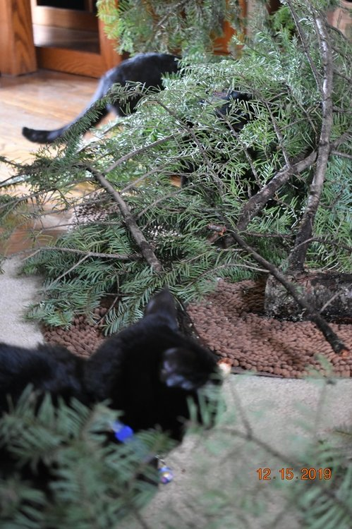 12 15 2019 cats checking xmas tree cutting1d.jpg