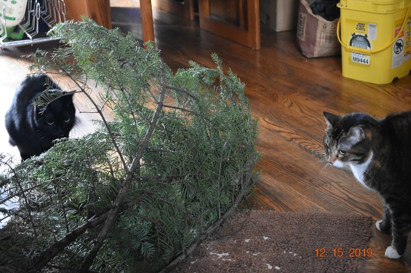 12 15 2019 cats checking xmas tree cutting1c.jpg