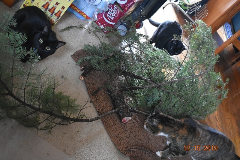 12 15 2019 cats checking xmas tree cutting1a.jpg