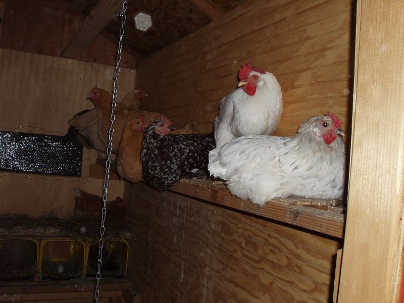 10 24 2018 hens going to bed 1b.jpg