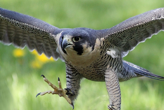 gotcha-photograph-of-falcon-in-flight-with-outstretched-talon.jpg