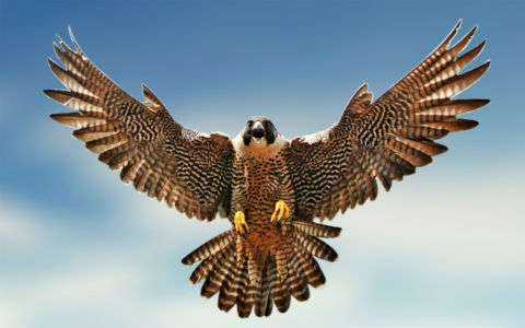 falcon-flying-1280x800-wide-wallpapers.jpg