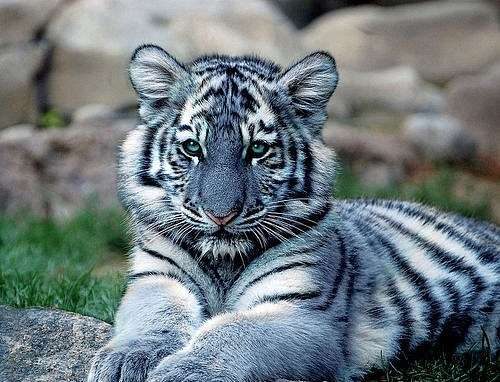 blue-cute-small-stripes-tiger-Favim.com-64504.jpg