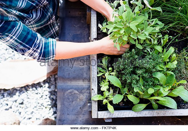 woman-planting-herbs-in-herb-garden-high-angle-fktp4k.jpg