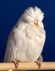 Best Op:Sex Young bird.Mark Bannister Albino hen..jpg