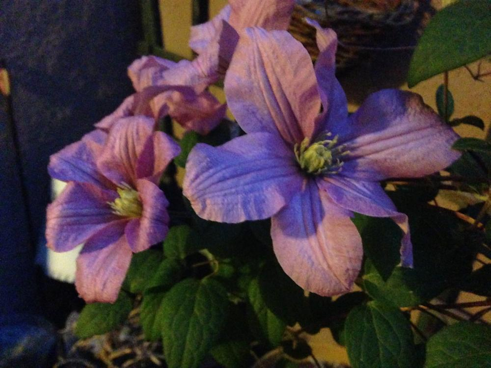 Clematis bunch1180.JPG