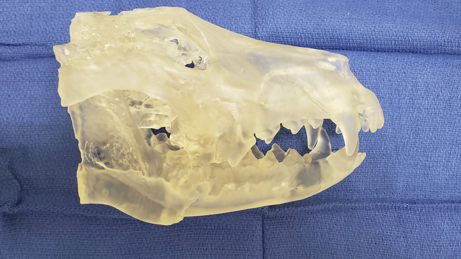 Fractured dog mandible after motor vehicle collision