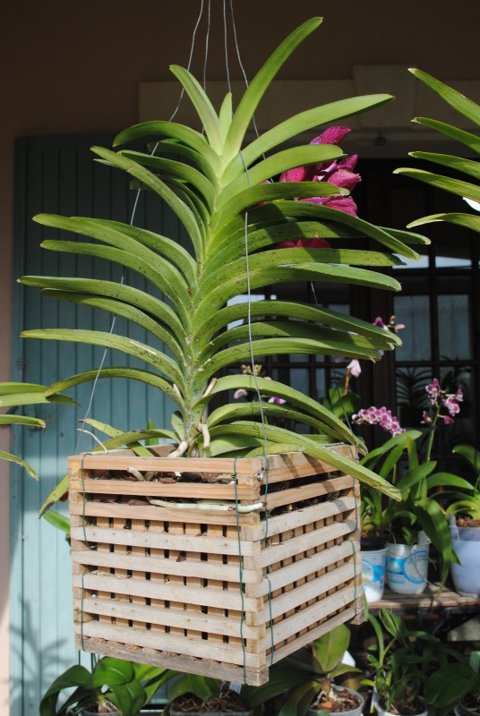 orchidee vanda panier