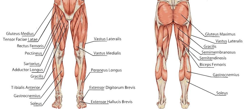 Diagram Of Muscles Behind The Knee - Wiring Diagram & Electricity ...