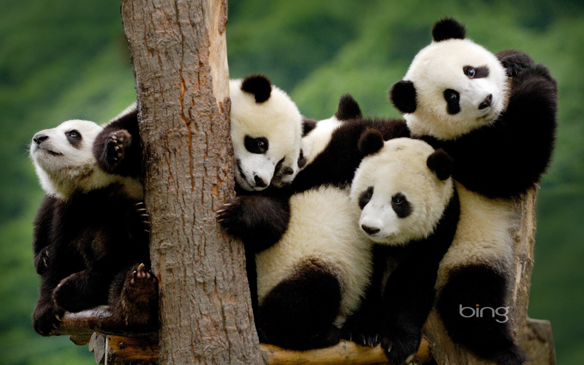 Panda Appreciation Club
