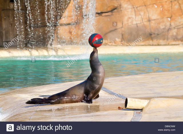sea-lion-playing-with-a-ball-closeup-D8N