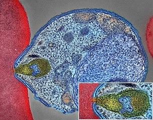 305px-Malaria_Parasite_Connecting_to_Human_Red_Blood_Cell_(34034143483).jpg