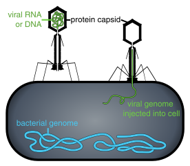 276px-Phage_injecting_its_genome_into_bacteria.svg.png